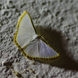 Ennominae : Leuciris fimbriaria (Stoll, 1781). Fundo Palmarito, 265 m (Yopal, Casanare, Colombie), 7 novembre 2015. Photo : J.-M. Gayman
