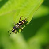 Cerambycidae : Cerambycinae : Clytus arietis LINNAEUS, 1758. Les Hautes-Lisières (Rouvres, 28), 25 mai 2012. Photo : J.-M. Gayman