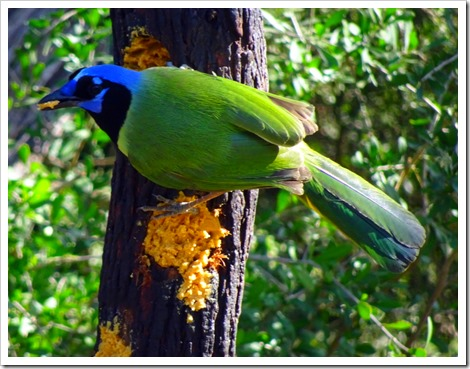 The famous Green Jay.