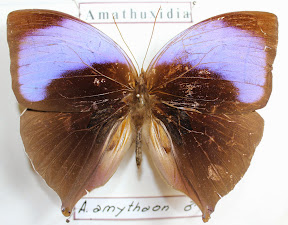 A.AMYTAOM.JPG