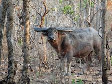 wildlife-water-buffalo-12.jpg