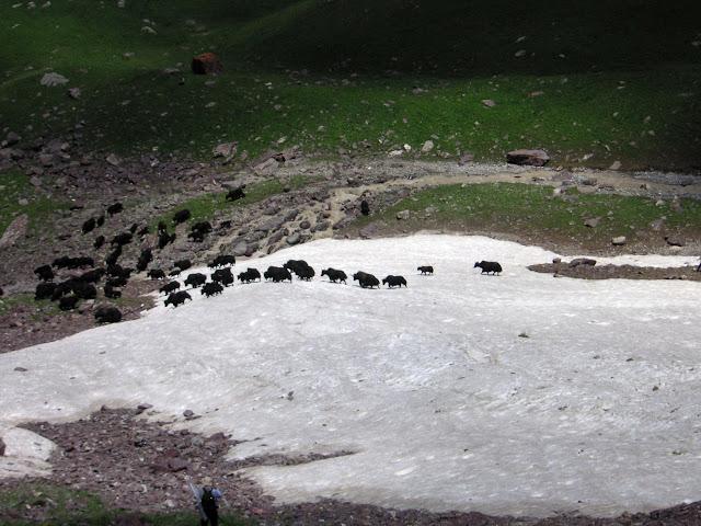 Troupeau de yaks au-dessus de Muk, 3400 m, vallée de Muksu, Tajikistan, 10 juillet 2007. Photo : F. Michel