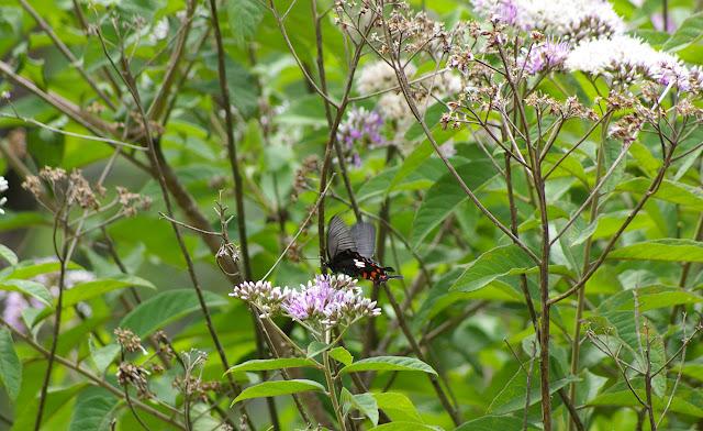 Papilio polytes LINNAEUS, 1758, femelle. Cang Shan (2400 m) au-dessus de Xizhou (Yunnan), 6 août 2010. Photo : J.-M. Gayman