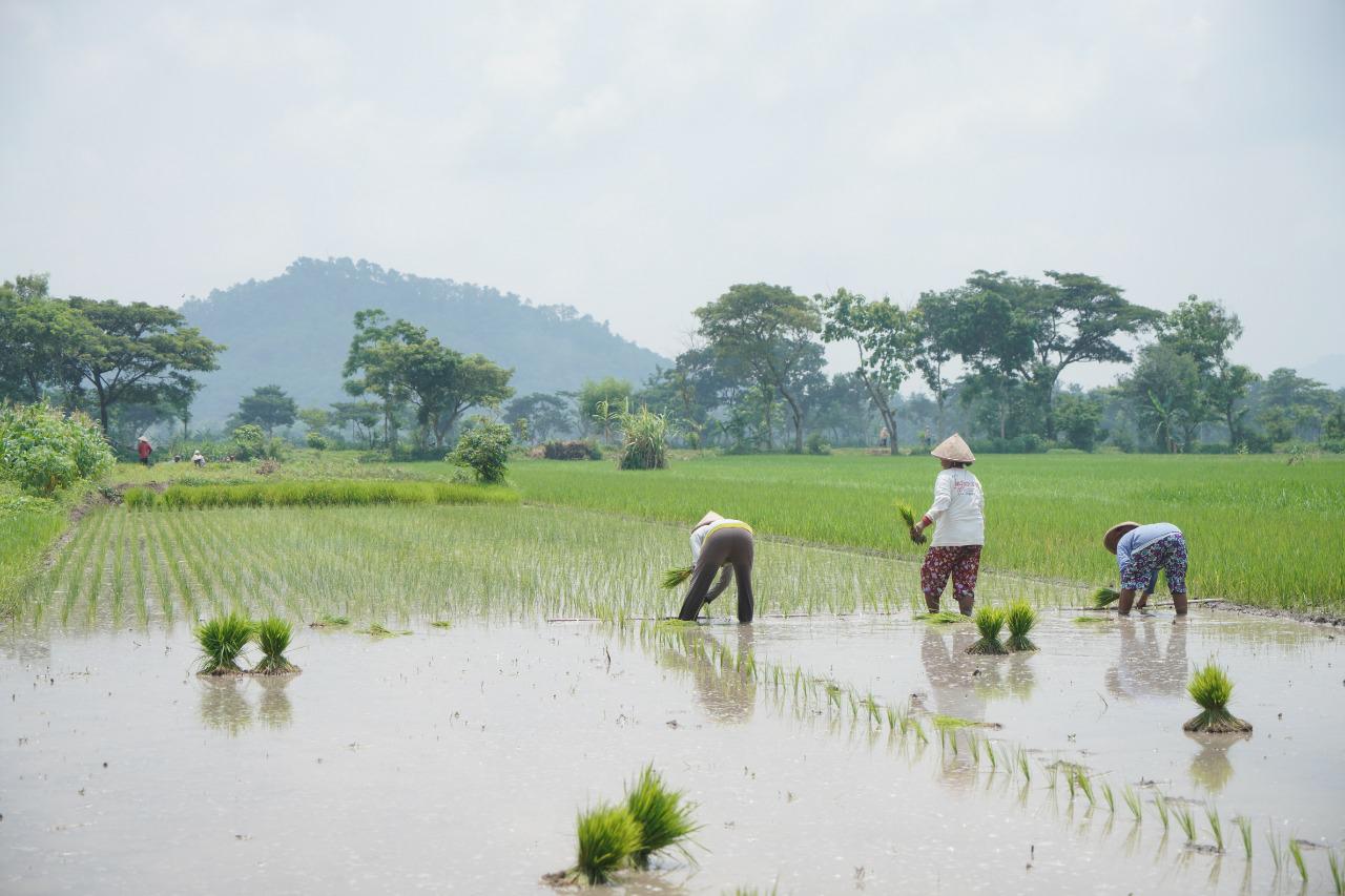 Atasi Kelangkaan Pupuk Bersubsidi di Klaten, Pemerintah Pusat Siapkan  Tambahan 7.073 Ton
