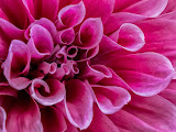 """Dahlia Closeup"" by Liz Bumgarner -- 2nd Place General A"