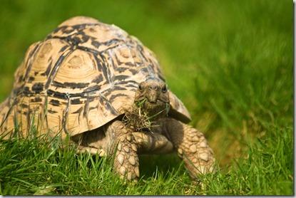 Alimentazione tartarughe terrestri - 1