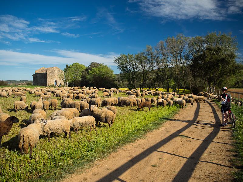 Ramat d'ovelles al voltant de Santa Cristina