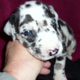 harl girl #3 @ 3 weeks/available