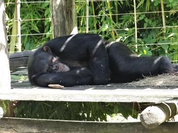 2017.06.17-004 chimpanzé