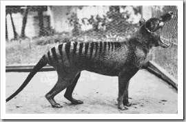 Last Thylacine