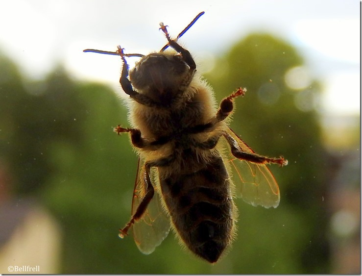 Steife Biene am Fenster
