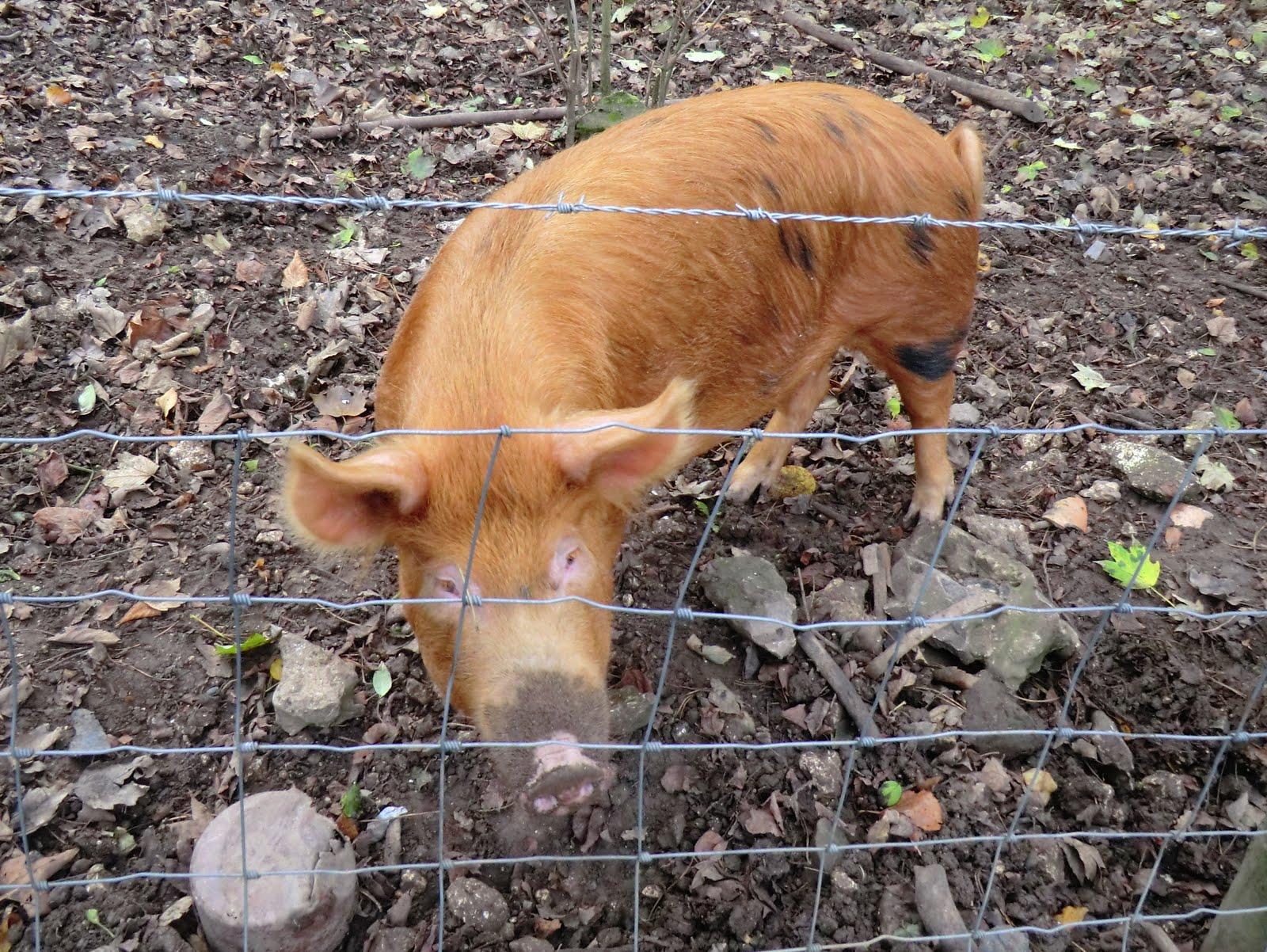 CIMG0307 Tamworth pig, Marden Park Farm