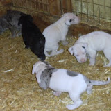 Cheyenne's litter @ 4 1/2 weeks