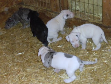 Cheyenne's litter @ 4 1/2 weeks