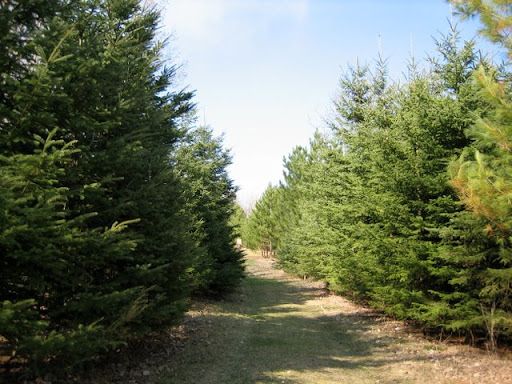 Double green trail as it passes through the square field. Spruce trees planted as seedlings 23 years ago.