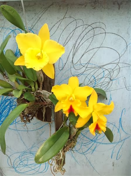Hoa lan cattleya vàng