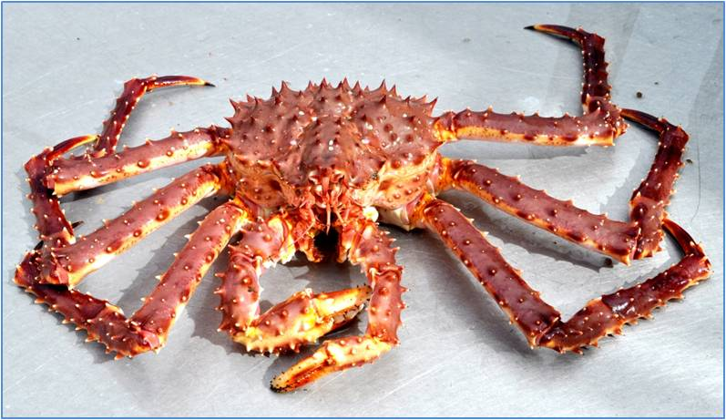 Alaskan King Crab Are The Largest And Most Sought After In World Due To Its Size Which Can Reach Up 25 Poundeasure 10 Feet