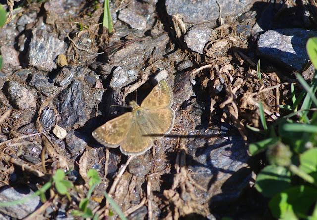 Erynnis tages (L., 1758), femelle. Tras le Mont, 800 m, Cocurès (Lozère), 10 août 2013. Photo : J.-M. Gayman