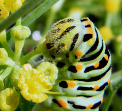 Photo: La chenille du grand-porte-queue (Papilio machaon) apprécie aussi le pollen de la fleur du fenouil quand les folioles commencent à sécher ! - 08.09.2014 - génération d'été.