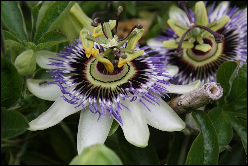 Passion flower at Lullingstone Castle World Garden