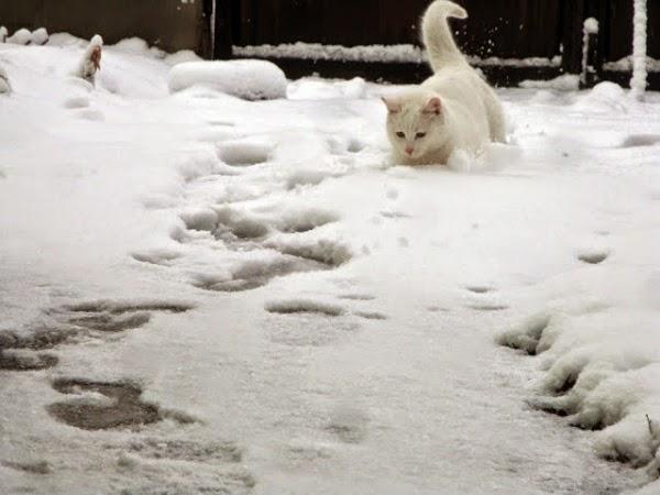 Белый кот играет в снег