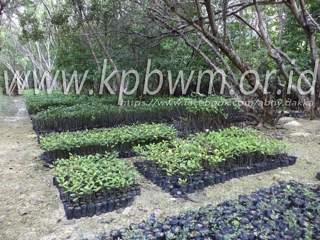 lokasi pembibitan mangrove YPMMD baluno sendana