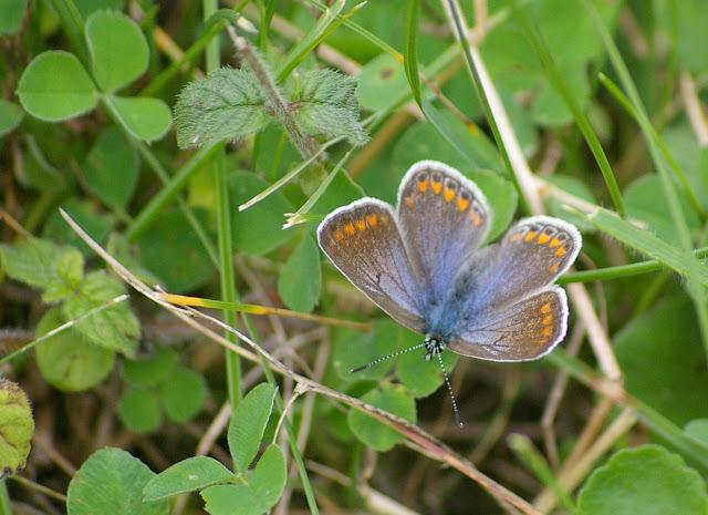 Polyommatus icarus ROTTEMBURG, 1775, femelle. Les Hautes-Lisières (Rouvres, 28), 21 septembre 2011. Photo : J.-M. Gayman