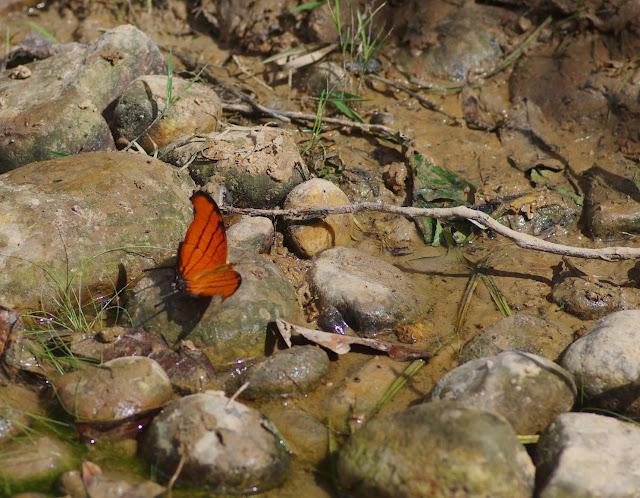 Marpesia petreus petreus (Cramer, 1776). Finca La Graciela, 239 m (Tamarindo, Casanare, Colombie), 5 novembre 2015. Photo : J.-M. Gayman