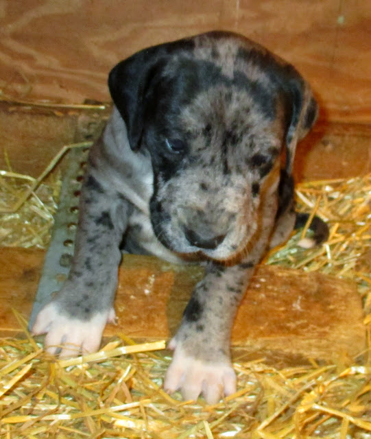 available blue merle girl