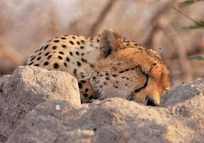 Male Cheetah Sleeping, South Africa
