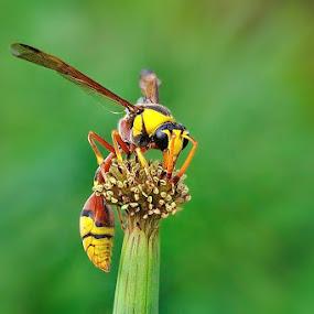 Enjoying the sweet honey by Joel  Pangoe Rihingan - Animals Insects & Spiders