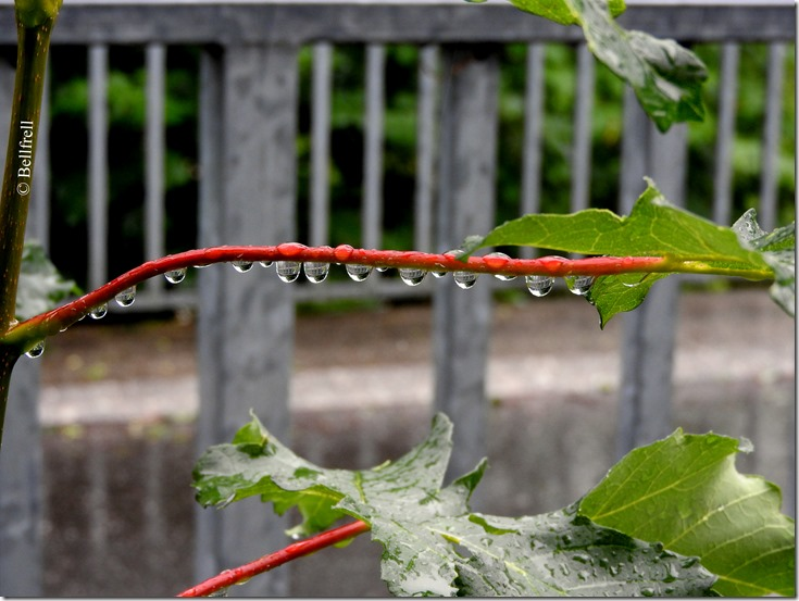 Regentropfen auf Zweig