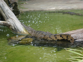Crocodile sunning himself