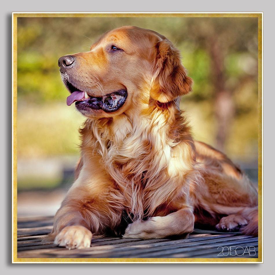 Testclod golden retriever chien de race - Dessin golden retriever ...