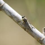 Asilidae sp. Bages (Pyr. orientales), 17 août 2013. Photo : J.-M. Gayman