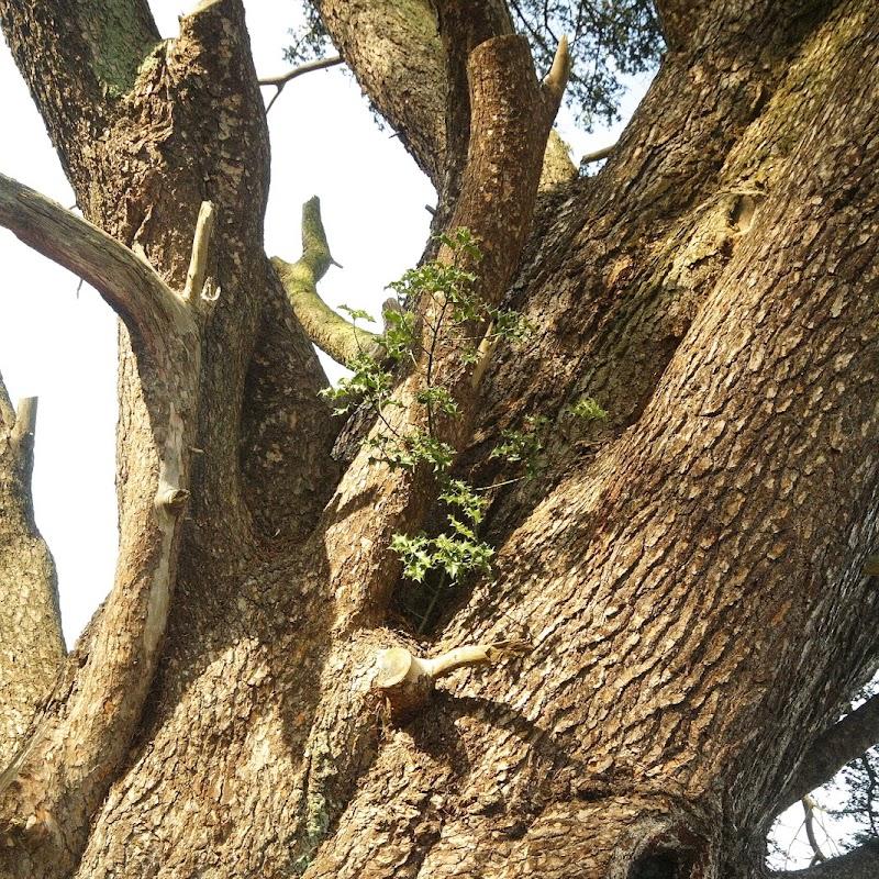 Stowe_Trees_36.JPG