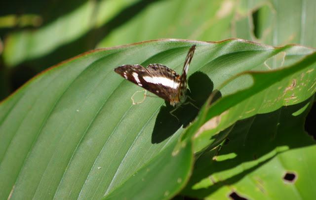 Thisbe molela (HEWITSON, 1865), femelle ou bien T. irenea (STOLL, 1780), femelle. Pointe Maripa (Riv. Comté), 9 novembre 2012. Photo : J.-M. Gayman