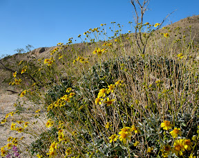 The Brittlebush  displays its' brilliance as we start the drive home.