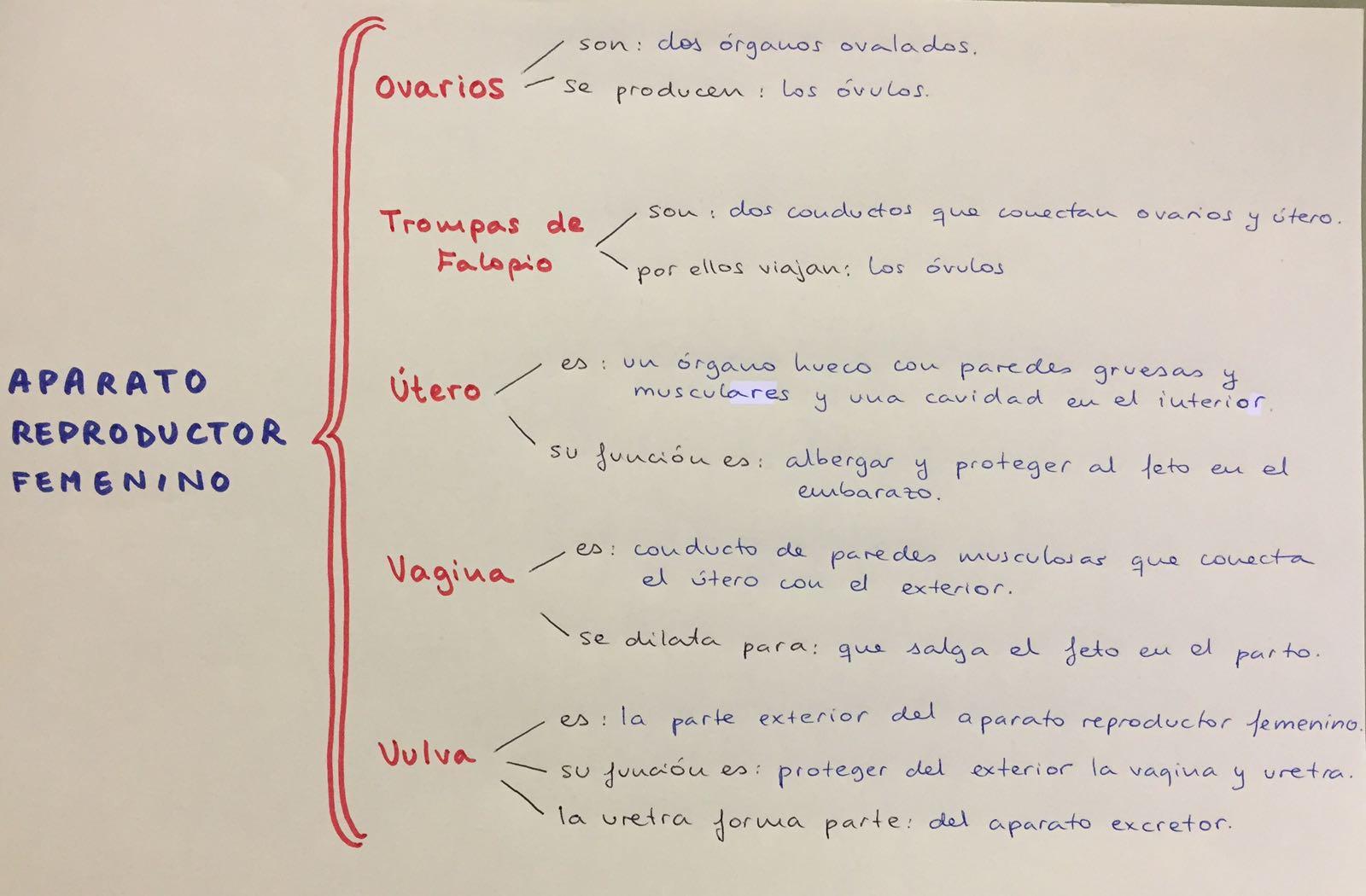Asombroso Diagrama Reproductor Femenino Composición - Anatomía de ...