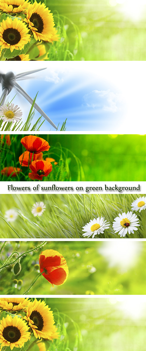 Stock Photo: Flowers of sunflowers on green background