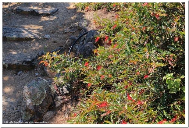 160813_UCSC_Arboretum_Grevillea-Boongala-Spoonbill_005