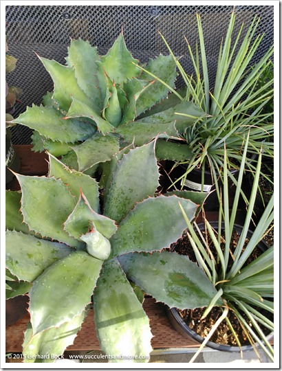 151018_HomeDepot_agaves_001
