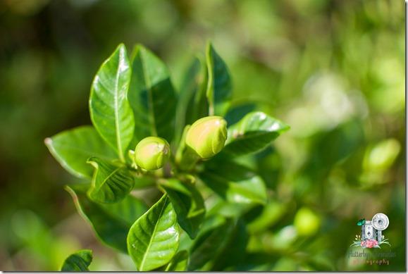 Gardenia Bud (©Jenny @ Flutterbye Chronicles)