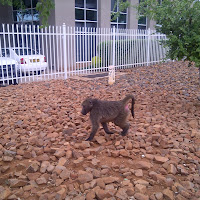First of two baboons seen in Gabs. He lets me pass on the sidewalk