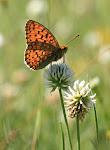 Klitperlemorsommerfugl, Argynnis niobe f. eris5.jpg.jpg