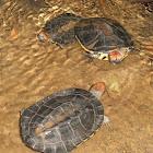Twist-neck Turtle
