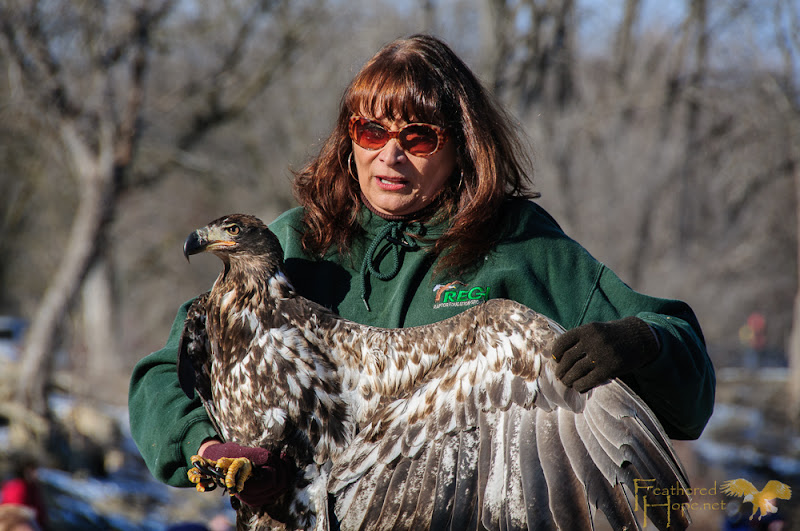A juvenile bald eagle demonstrates wing span with the help of it's rehabilitator, Marge Gibson, of Raptor Education Group, Inc.