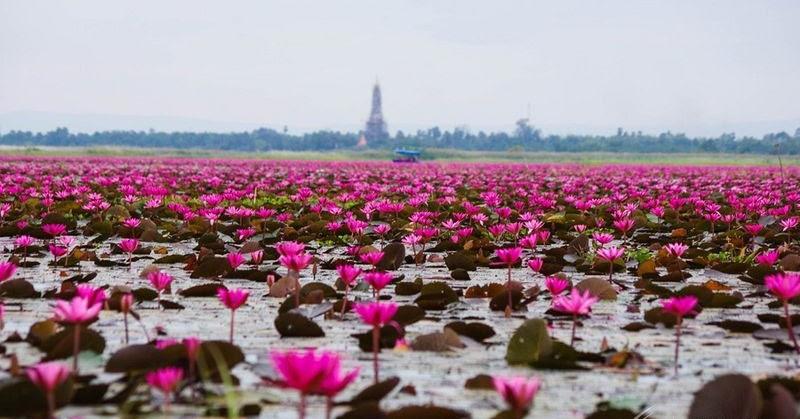 Kumphawapi Thailand  city images : Red Lotus Lake, Kumphawapi, Thailand | Amusing Planet