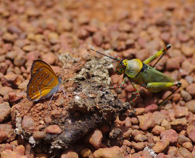 Sevenia amulia CRAMER, 1777. Piste vers Ebogo (Cameroun), 8 avril 2012. Photo : J.-M. Gayman