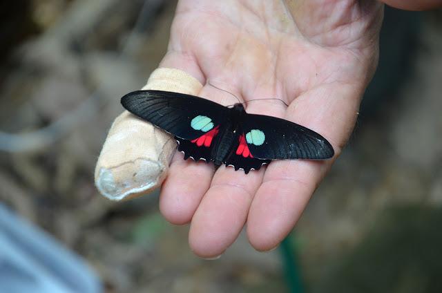 Parides aeneas lucasi BROWN & LAMAS, 1994, mâle. Crique Tortue, près de Saut Athanase (Guyane). 20 novembre 2011. Photo : M. Belloin